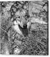 Curious Wolf Pup Acrylic Print