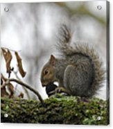 Curled Tail Acrylic Print
