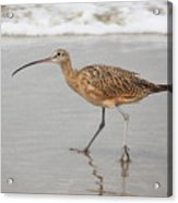 Curlew In The Surf Acrylic Print