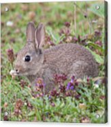 Cute Baby Bunny Acrylic Print
