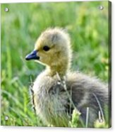 Cute Baby Goose In A Grass Field Acrylic Print