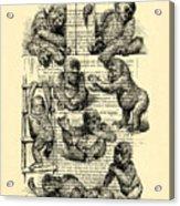 Baby Monkeys Playing Black And White Antique Illustration Acrylic Print