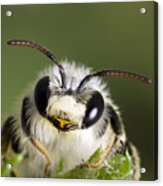 Cute Bee Acrylic Print