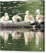 Cute Canadian Geese Chicks Acrylic Print