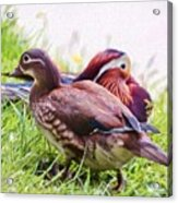 Cute Couple - Mandarin Ducks Acrylic Print