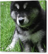 Cute Fluffy Alusky Puppy Sitting Up In A Yard Acrylic Print