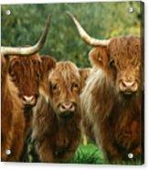 Cute Fluffy Cows Acrylic Print