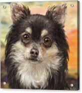 Cute Furry Brown And White Chihuahua On Orange Background Acrylic Print
