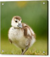 Cute Gosling Acrylic Print