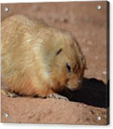 Cute Ground Squirrel Burrowing In The Dirt Acrylic Print