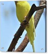 Cute Little Parakeet Resting On A Branch Acrylic Print