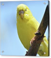 Cute Little Yellow Budgie Bird In Nature Acrylic Print