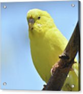 Cute Little Yellow Parakeet In The Rainforest Acrylic Print