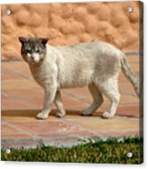 Cute Mexican Kitty Acrylic Print