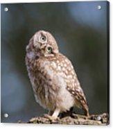 Cute, Moi? - Baby Little Owl Acrylic Print