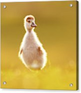 Cute Overload - Baby Gosling Acrylic Print