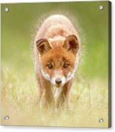 Cute Overload Series - Baby Fox Exploring The World Acrylic Print
