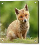 Cute Overload Series - Best Baby Fox Ever Acrylic Print