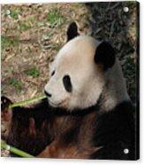 Cute Panda Bear Eating A Green Shoot Of Bamboo Acrylic Print