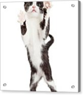 Cute Playful Kitten With Paws Up In Air Acrylic Print