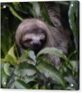Cute Sloth Face Acrylic Print