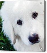 Cute White Puppy Dog Portrait. Polish Tatra Sheepdog Acrylic Print