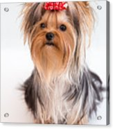 Cute Yorkie Puppy With Red Bow Acrylic Print