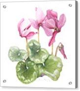 Cyclamen Acrylic Print