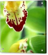 Cymbidium Seafoam Emerald Orchid Acrylic Print by Kathy Yates