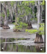 Cypress And Spanish Moss Of Caddo Lake State Park 4 Acrylic Print