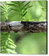 Cypress  Branch Acrylic Print