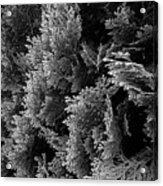 Cypress Branches No.1 Acrylic Print