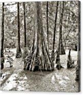 Cypress Evening Acrylic Print