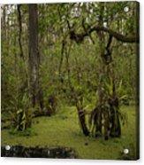 Cypress Forest Acrylic Print