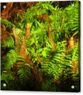 Cypress Knees In Ferns Acrylic Print