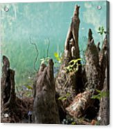 Cypress Knees In The Mist Acrylic Print