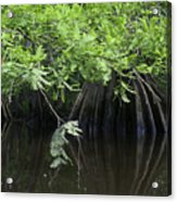 Cypress Leaves And Fluted Trunks Acrylic Print