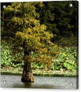 Cypress Matters Acrylic Print