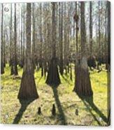 Cypress Sentinals Acrylic Print