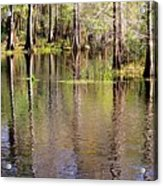 Cypress Trees Along The Hillsborough River Acrylic Print