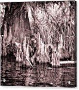 Cyprus Knotts Acrylic Print