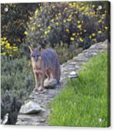 D-a0037 Gray Fox On Our Property Acrylic Print