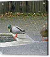 D-a0048 Mallard Ducks In Our Yard Acrylic Print