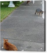 D-a0050-dc Gray Fox And Our Cat On Our Pool Deck Acrylic Print