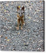 D-a0051-dc Gray Fox Pup Acrylic Print