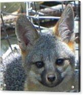 D-a0068 Gray Fox Pup Acrylic Print