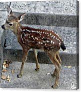 D-a0069 Mule Deer Fawn On Our Property On Sonoma Mountain Acrylic Print