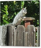 D-a0071-e-dc Gray Squirrel On Our Fence Acrylic Print