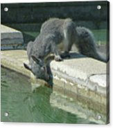 D2b6341-dc Gray Squirrel Drinking From The Pool Acrylic Print
