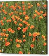 d7b6307 California Poppies Acrylic Print